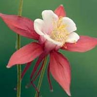 Akleja Crimson Star#-Frö till Akleja Crimson Star