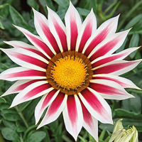 Gazania New Day & Rose Stripe-Frö till Gazania New Day & Rose Stripe