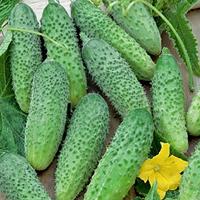 Gurka Aloe-Frö till Gurka - Aloe