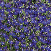 Lobelia Midnight Blue-Frö till Lobelia Midnight Blue