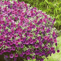 Petunia Kabloom Deep Blue-Frö till Petunia Kabloom Deep Blue