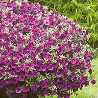 Petunia Kabloom Deep Blue-Frö till Petunia Kabloom Deep Blue