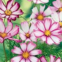 Rosenskära Garden Picotee-Frö till Rosenskära Cosmos Picotee