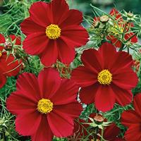 Rosenskära Garden Sensation Carmine-Frö till Rosenskära Cosmos Sensation Carmine