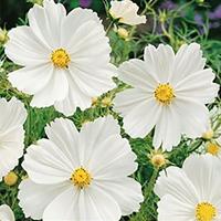 Rosenskära Garden Sensation White-Frö till Rosenskära Cosmos Sensation White