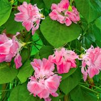 Blomman för dagen, Raffles Pink, Frö till Morning Glory Raffles Pink