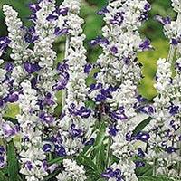 Daggsalvia Blue&White-Frö till Daggsalvia - Blue&White