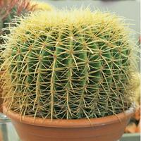 Kaktus Golden Barrel-Frö till Kaktus - Golden Barrel
