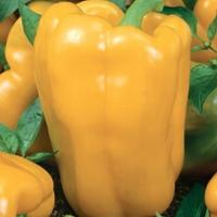 Paprika Theos#-Frö till paprika - Theos