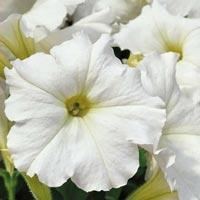 Petunia Snowball#-Frö till Petunia - Snowball