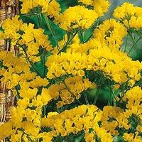 Risp  gul-Frö till Risp , gul