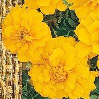 Sammetstagetes Bonanza Yellow-Frö till Sammetstagetes - Bonanza Yellow