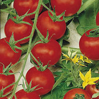 Tomat Cherrola-Frö till Tomat - Cherrola