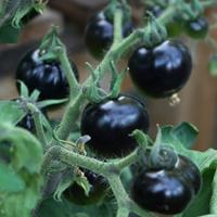 Tomat Indigo Rose-Frö till tomat - indigo rose