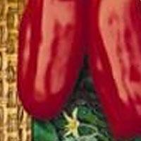 Tomat San Marzano-Frö till Tomat - S Marzano