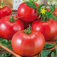 Tomat Abellus-Frö till Tomat Abellus