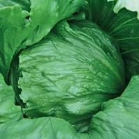 Isbergssallad, Expression-Fröer till isbergssallad lettuce, expression