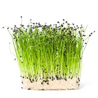 Microgreen, Purjolök-Fröer till purjolök leek, micro green