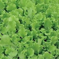 Sallad, Bionda A Foglia Riccia-Fröer till sallad lettuce, bionda a foglia riccia