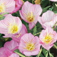 Silvernattljus, Pink-Fröer till silvernattljus primrose evening, pink