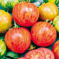 Fröer till Tomat, Solanum lycopersicum L. 'Red Zebra'