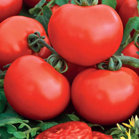 Tomat, Sylviana-Fröer till tomat tomato,  sylviana