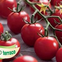 Tomat, Curranto-Fröer till tomat tomato, curranto