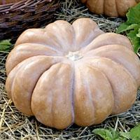 Myskpumpa Muscade De Provence-Frö till Myskpumpa Muscade de Provence