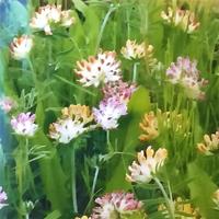 Getväppling, Red Carpet-Fröer till getväppling, Anthyllis vulneraria L