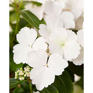 Vita blommor på hortensia 'Runaway Bride'