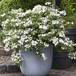 Krypande, hängande hortensia 'Runaway Bride' vita blommor