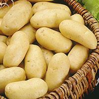 Charlotte, sättpotatis Ekologisk-Sättpotatis till tidig potatis Charlotte