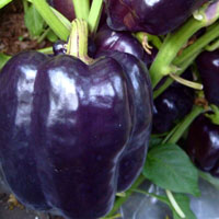Paprika, Purple Beauty-Paprika Purple Beauty