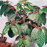 Kaffebuske-Fröer till Kaffebuske