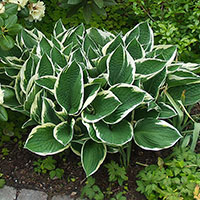 Funkia, Hosta Patriot-Perenn Funkia Hosta, Patriot