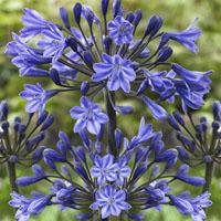 Agapanthus, Kärlekslilja Mörkblå-Knölar till Kärlekslilja Agapanthus, Mörkblå
