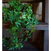 Murgröna 'Worneri' växt