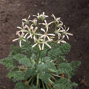P. appendiculatum - fröer-Pelargonium appendiculatum