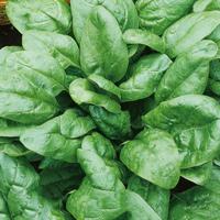 Spenat - Geant D'Hiver, ekologiskt-Ekologiskt frö till Spenat - Geant D