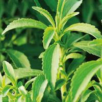 Fröer till Stevia