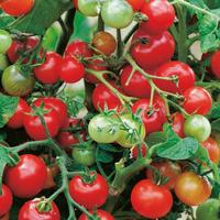 Fröer till Tomat - Vilma