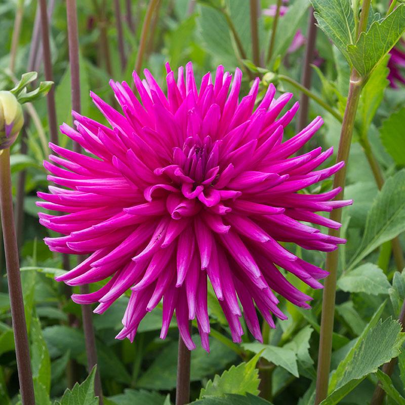 Knöl till Kaktusdahlia 'Purple Gem'