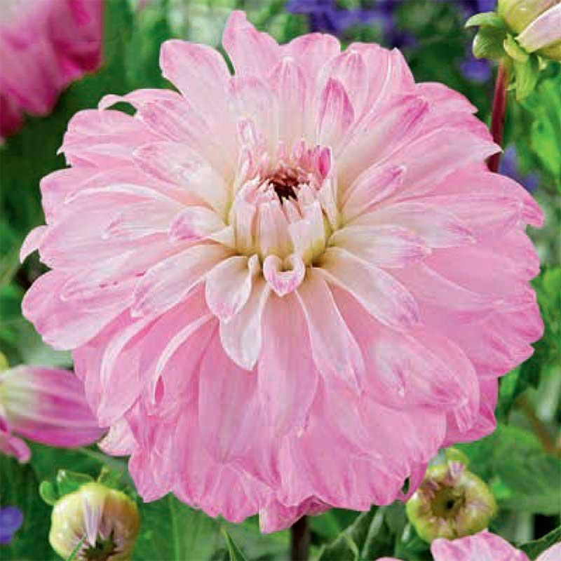 Dekorativdahlia 'Pink Petticoat'