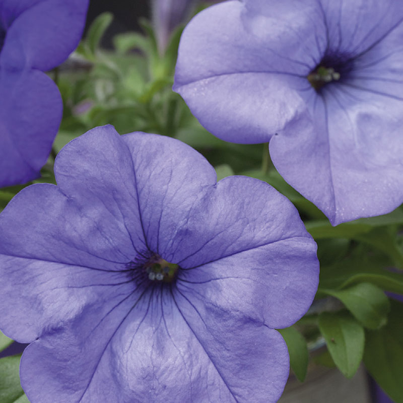 Frö till hängpetunia, Petunia x hybrida 'Evening Scentsation'