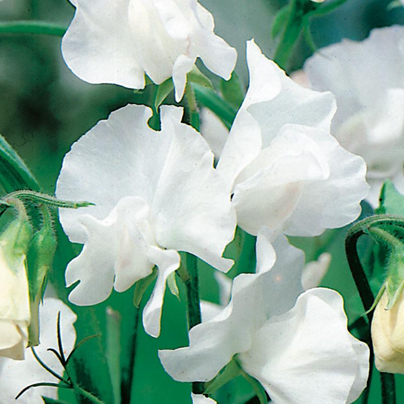Luktärt 'White Ensign', Lathyrus odoratus