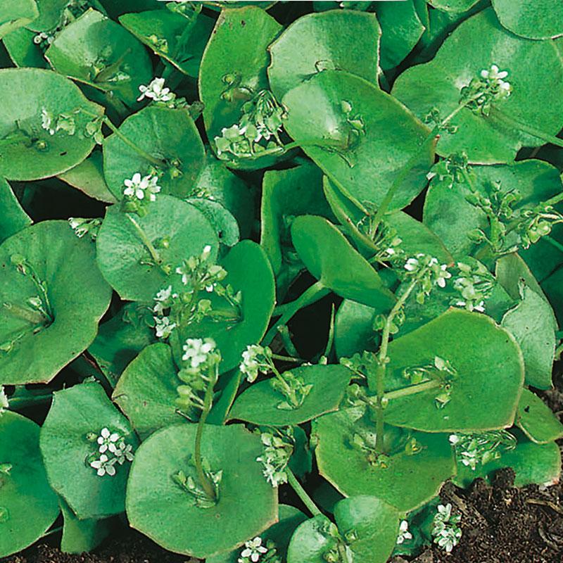 Frö till Vinterportlak, Claytonia perfoliata