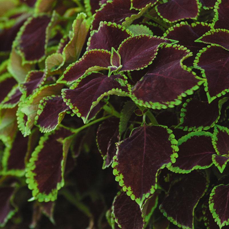Palettblad 'Solento Mint' - ©Volmary