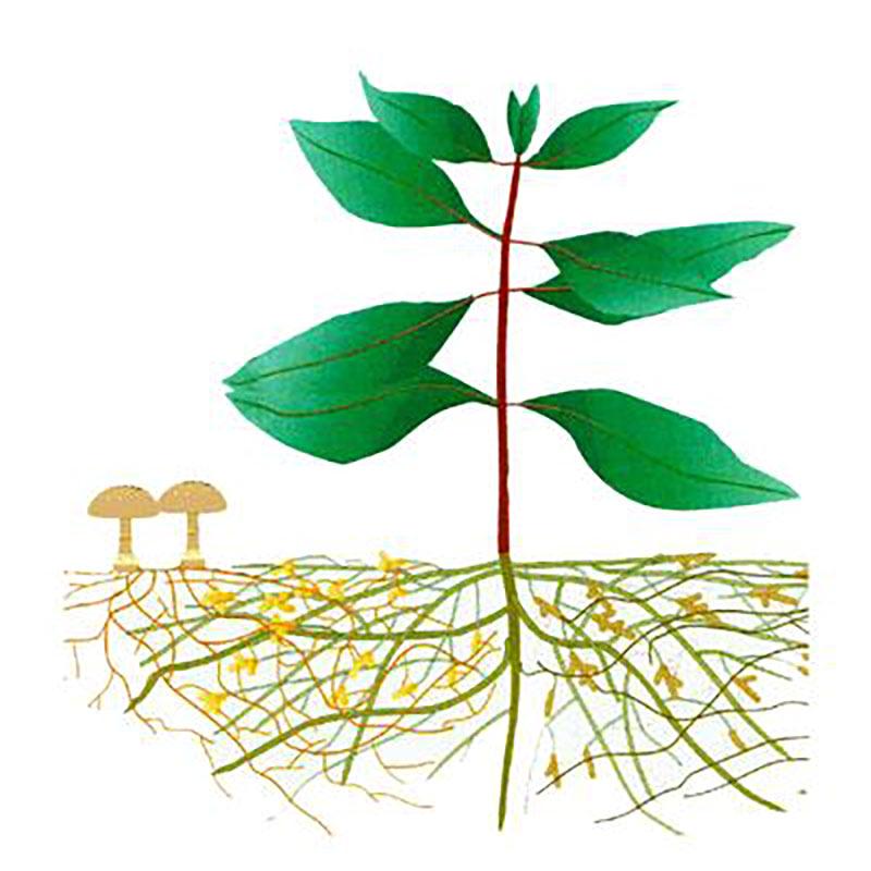 mycorrhiza mycordip