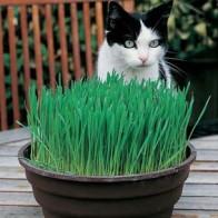 Kattgräs CAT GRASS Avena Sativa, Frö till Kattgräs