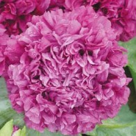 Opiumvallmo 1-årig POPPY Paeony Purple Passion, Frö till Opiumvallmo 1-årig